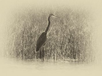 Blue Heron In BlackAnd White